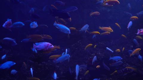 Bright fish swim in the aquarium Footage