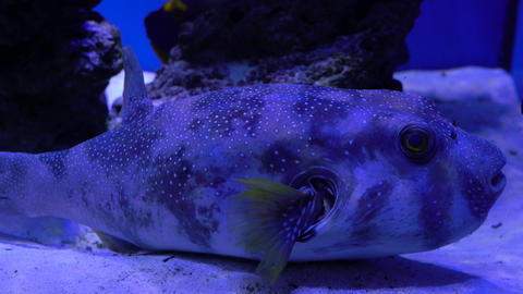Large emotional fish lies on the bottom of the aquarium Footage