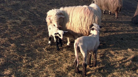 Sheep and lambs play Lamb with white fur and black spot and a lamb fur head just Live Action