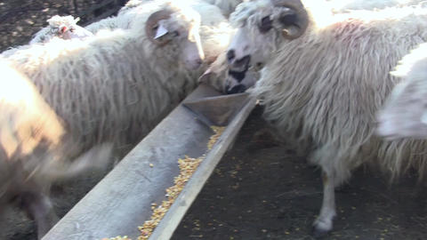 The sheep eats the corn meal They are afraid of the camera and skipping trough - Live Action
