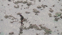 Man is looking for shellfish after low tide,reverse zoom.Bali Footage