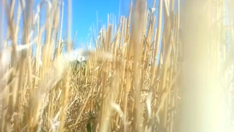 Man camera sneaks through thick reed beds Footage