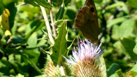 satyr butterflies is feeding nectar on flower thistle Live Action