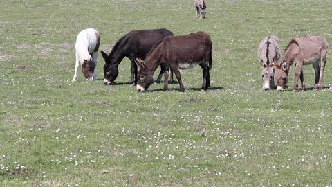 Donkeys on pasture Footage