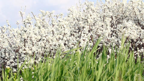 Green grass and white flowers spring scene Footage