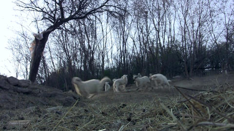 Herd of sheep lambs without their mothers come to escape from the forest sensing Live Action