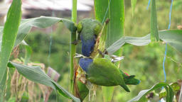 Birds loras exotic Stock Video Footage
