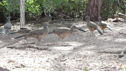 Birds pecking waddling flock group Live Action