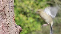 Chaffinch feeding bird wildlife Footage