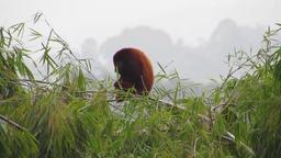Fauna howler monkey mono Footage