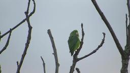Fauna parrot perico nature Footage