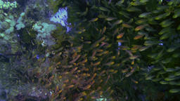 School flock of glass fish on the reef at dusk Footage