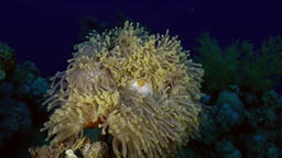 Orange Clown fish swimmig in Sea Anemone at night Footage