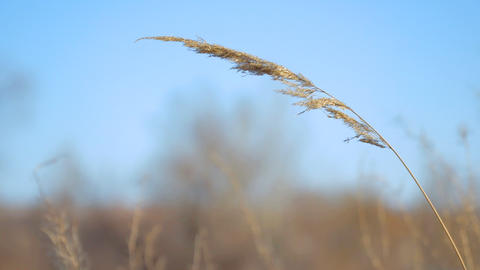 Dry blade of grass swaying in the wind Footage