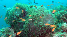 Anemone actinia and bright orange clown fish on seabed underwater of Maldives Footage