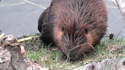 Beavers eat in water dams on background of dry logs and trees in Ushuaia Footage