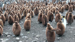 Many king penguins on ocean coast on Falkland Islands in Antarctica Footage