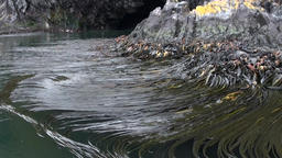 Green algae on coastline of Falkland Islands Footage