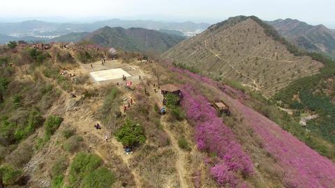 Cheonjusan Mountain Jindallae Azalea Flower Blooming 23 Footage