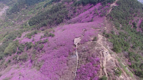 Cheonjusan Mountain Jindallae Azalea Flower Blooming 25 Footage