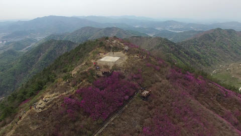 Cheonjusan Mountain Jindallae Azalea Flower Blooming 27 Footage