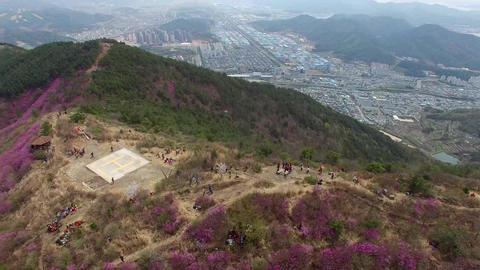 Cheonjusan Mountain Jindallae Azalea Flower Blooming 30 Footage