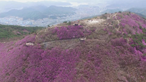 Cheonjusan Mountain Jindallae Azalea Flower Blooming 33 Footage