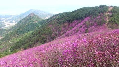 Cheonjusan Mountain Jindallae Azalea Flower Blooming 35 Footage