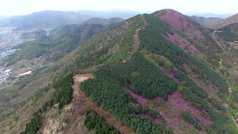 Cheonjusan Mountain Jindallae Azalea Flower Blooming 02 Footage