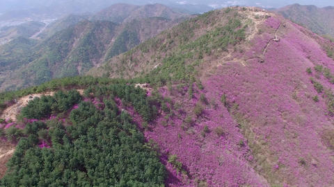 Cheonjusan Mountain Jindallae Azalea Flower Blooming 04 Footage
