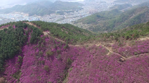 Cheonjusan Mountain Jindallae Azalea Flower Blooming 05 Footage