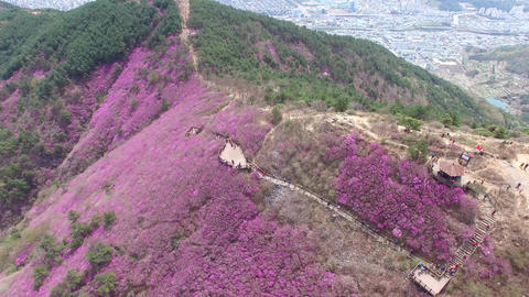 Cheonjusan Mountain Jindallae Azalea Flower Blooming 09 Footage