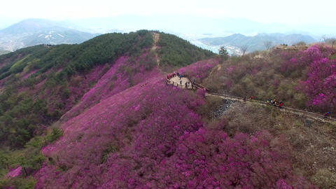 Cheonjusan Mountain Jindallae Azalea Flower Blooming 11 Footage