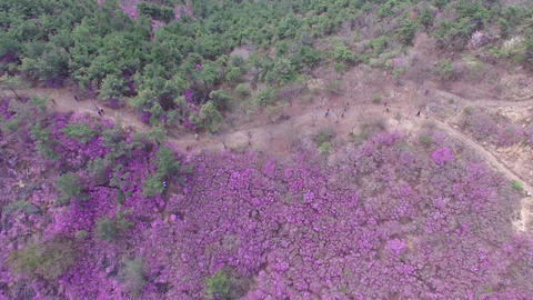 Cheonjusan Mountain Jindallae Azalea Flower Blooming 13 Footage