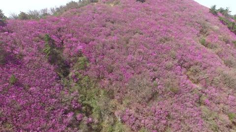 Cheonjusan Mountain Jindallae Azalea Flower Blooming 14 Footage