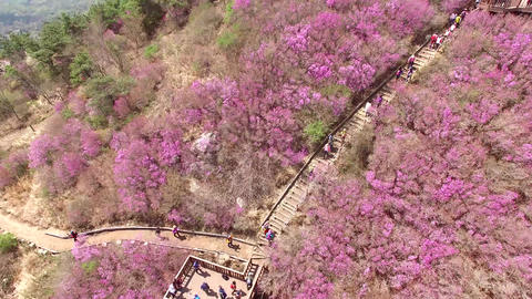 Cheonjusan Mountain Jindallae Azalea Flower Blooming 15 Footage