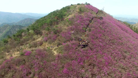 Cheonjusan Mountain Jindallae Azalea Flower Blooming 17 Footage