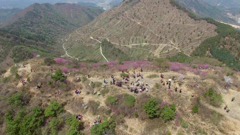 Cheonjusan Mountain Jindallae Azalea Flower Blooming 21 Footage