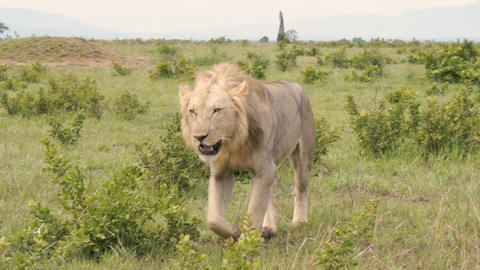 The African lion stands on its feet and moves toward the camera Footage