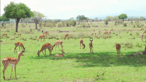 Herd of Impala antelopes resting and eating grass Footage