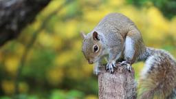 Squirrel grey brown fur cute Footage