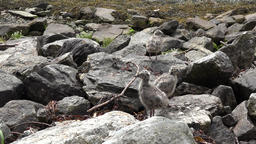North Europe Norway Geirangerfjord sweet chicks of seagulls at the shore Footage