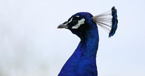 Peacock Head Isolated on White Background Footage