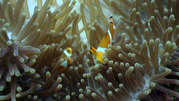 Anemone and clownfish underwater on seabed in world of wildlife Philippines Footage