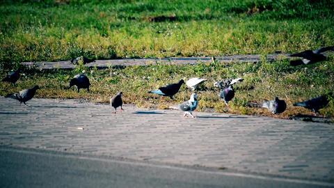 Crow alights near pigeons foraging on lawn near sidewalk Footage