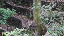 Family of monkeys are fighting on the lianas in the forest tropical Indonesia Footage