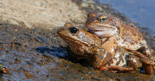 Couple toads mated Footage