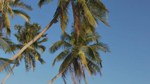 Exotic Palm Trees Wave under Wind Breath on Shore Footage