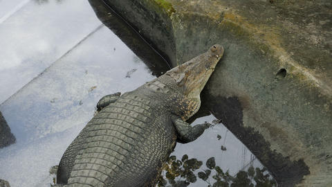 Crocodiles at Palawan Wildlife Rescue and Conservation Center Live Action