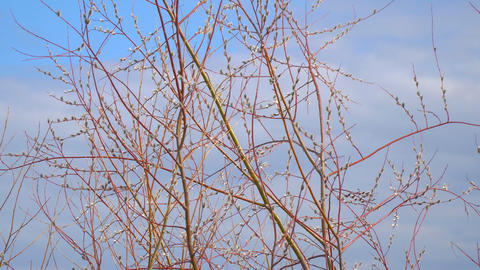 Branches of the pussy willow with fluffy buds Live Action